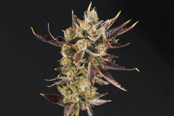 Purple Kryptonite-Packaged Seeds