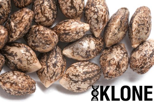 (Chem D x i95) x Durban Kush -  Individual Seeds