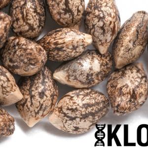(Chem D x i95) x Member OG - Individual Seeds